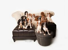 This campaign orginated as a fundraiser for the purchase of Cavaliers that were bein… Brittney Wilk needs your support for Cavalier Puppy Mill Auction Rescue King Charles Spaniel, Cavalier King Charles, Cavalier Rescue, Dog Competitions, Spaniel Breeds, Cute Dogs Breeds, Training Your Puppy, Puppy Mills, Dog Show