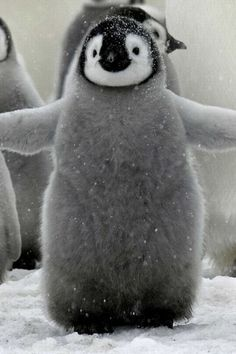 Puffy baby penguin