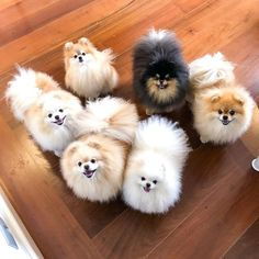 Some of the things I adore about the Inquisitive Pomeranian Puppies Find Out Mor. - Cats n Dogs - Puppies Very Cute Dogs, Cute Baby Dogs, Cute Little Puppies, Cute Little Animals, Baby Puppies, Little Dogs, I Love Dogs, Dogs And Puppies, Spitz Pomeranian