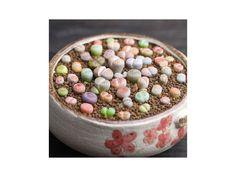Kvetoucí živé kameny Lithops Pseudotuncatella 100 semínek. Velmi originální dekorace.