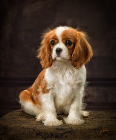 Some of the things we respect about the Cavalier King Charles Spaniel Pups Cavalier King Charles Blenheim, King Charles Puppy, King Charles Spaniel, Roi Charles, Cavalier King Spaniel, Sweet Dogs, Spaniel Puppies, Cute Dogs And Puppies, Doggies