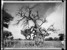 Baobab: Tree of Generations Snow, Baobab Tree, Outdoor, Photographers, Artists, Outdoors, Artist, Outdoor Living