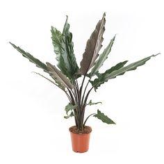 Alocasia Lauterbachiana - P 19 cm - Kwekersvergelijk Perennial Flowering Plants, Ornamental Plants, Garden Plants, Indoor Plants, Perennials, Alocasia Plant, Architectural Plants, Lucky Bamboo, Plant Decor