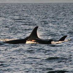 "Mya on Instagram: ""Another picture of J53 for your evening delight  PC- @sookewhale #orcalife #seaworld #shamu #srkw #thanksbutnotanks #boycottmarineland #boycottseaworld #emptythetanks #captivitykills #tilikum #keiko #killerwhales #orcas #marineland #orcaocean #oneocean"""