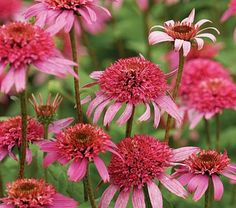 Echinacea purpurea Pink Double Delight - love these, have 1 in my garden and seems to last for ages - yippee! Plants With Pink Flowers, Pretty Flowers, Flower Names, My Flower, Sun Plants, Garden Plants, Hummingbird Plants, Double Delight, White Flower Farm