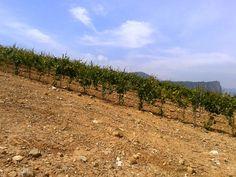 Los viñedos están situados a 800 metros de altitud.