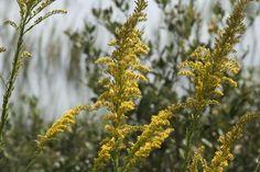 Aromatherapy for Allergies -  #aromatherapy #essentialoils #allergies #doterra #lavha4life #ameooils #youngliving