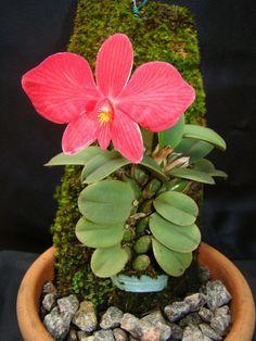 orchids by hazel simmons mcdonald Orchids Garden, Orchid Plants, Unusual Plants, Cool Plants, Exotic Flowers, Beautiful Flowers, Orchid Terrarium, Orquideas Cymbidium, Miniature Orchids