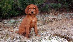 Irish setter puppy VII by lesnydrwal on deviantART