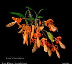 A species orchid (color) Unusual Flowers, Most Beautiful Flowers, Pretty Flowers, Rare Orchids, Dendrobium Orchids, Virtual Flowers, Orchid Color, Orchidaceae, Wild Orchid