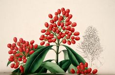 Japanese Skimmia - Skimmia japonica - circa 1854 - Grows to 20 feet tall - good plant for Bonsai - Female plants produce red berries Red Berries, Cool Plants, Botanical Illustration, Bonsai, Flowers, Flower Illustrations, Image, Japanese, Japanese Language