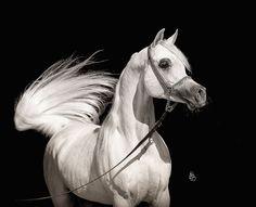 Al Ayal AA (Al Ayad x The Vision HG) 2008 grey SE  stallion bred by Ariela Arabians, Israel