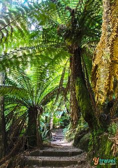 Nature walk to Liffey Falls in Tasmania, Australia