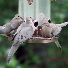 Tourterelle Triste une belle famille!
