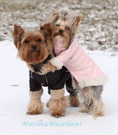 """Baby, It's Cold Outside!"" - Hee Hee Hee! Oh, C'mon, Mr. Nickerson (@hobnickerson) it's us as Yorkies! <3"