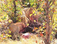 Lionesses taking down a buffalo calf neat Khwai River Lodge