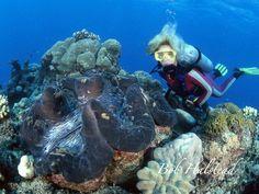 Almeja gigante (Tridacna Gigas) Es uno de los más grandes moluscos inmóviles en el mundo, este individuo puede llegar a alcanzar unos 1,8 m longitud,aunque en el comercio podemos encontrar especies criadas en cautividad de menor tamaño, en su habitat natural, una vez que encuentra un sitio adecuado en el arrecife, la almeja permanece allí por el reto de su vida.