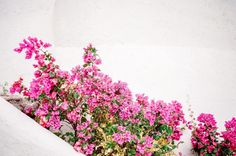 Bougainvillea everywhere.  This was image was shot from the stairs up to my cabana at Cinco Sentidos on my Yashica 35mm with Fuji Pro 400H film (: Read more on my blog! #ldfotostravels http://ift.tt/2loexnK #ldfotos