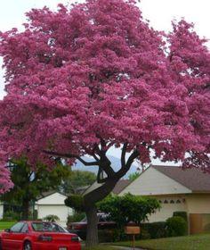 Tabebuia-tree