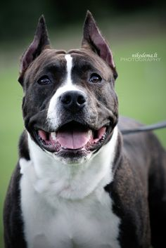 "500px / Photo ""American Staffordshire Terrier"" by Sandra (Nikodema) We will have a dog like this someday!"