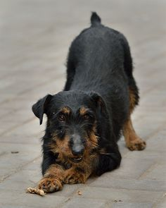 """Jagd Terrier """"Richa"""" 