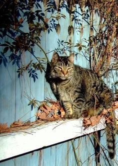 tabby cat on the fence.