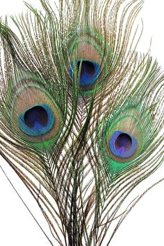 Photo about Peacock feathers in macro blue green. Image of background, plumbage, peacock - 3147701 Peacock Images, Peacock Photos, Feather Drawing, Feather Art, Peacock Feathers Drawing, Tattoo Feather, Bird Tattoos, Lace Tattoo, Tattoo Black