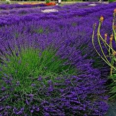 Lavender Hidcote Blue (Lavandula Angustifolia Hidcote Blue) - Here is another variety to grow from Lavender seeds! Lavender Hidcote Blue is a bit shorter than the English Munstead variety. But, it sti