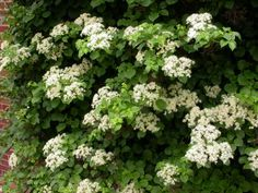Climbing hydrangea for cooler backyard shady areas (part to deep shade). Available at Flower World.