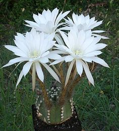 Portraits de cactus - Page 9 Awesome! I love this when it blooms! Cacti And Succulents, Planting Succulents, Cactus Plants, Garden Plants, Planting Flowers, Indoor Cactus, Cactus Art, Flower Gardening, Flowers Garden