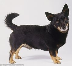 Lancashire heeler: Also known as the Ormskirk terrier, it's thought to be a cross between the Welsh corgi and the Manchester terrier, dating back to the time when cattle were herded from Wales to markets around Ormskirk in Lancashire