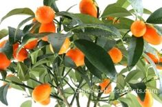 Kumquat tree is delightfully fragrant and exotic, making this a beautiful accent for your home. Find out how to water, prune, fertilize and grow small citrus fruit tree in a pot. Kumquat Tree, Citrus Trees, Indoor Flowering Plants, Indoor Trees, Dwarf Fruit Trees, Fruit Bearing Trees, Patio Trees, Greenhouse Plants, Florida Gardening