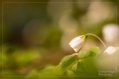 Clover in springtime
