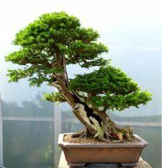 "Taxus Baccata - Kaizen Bonsai graham potter ""plucking yew"""