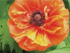 Wild Maine Red Poppy with busy bees 8 x 10 archival by PbaShea, $20.00