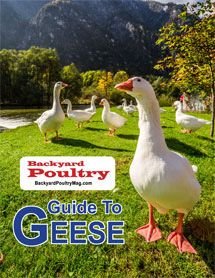 Get a FREE handbook on geese breeds, including how to choose, feed and care for them, plus the benefits of preparing the goose for the table.