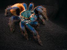IMG_6599a Tiglath   Flickr - Photo Sharing! Greenbottle Blue Tarantula