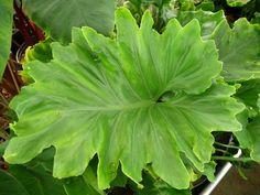 Philodendron 'Xanadu Hope'
