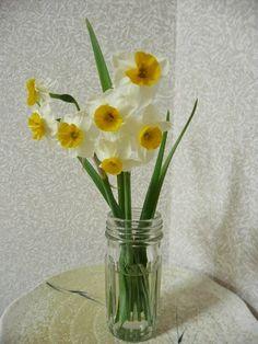 daffodil lane .. X ღɱɧღ ||
