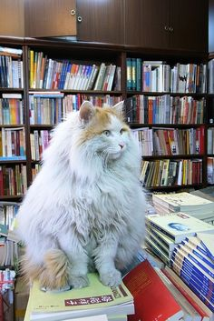 A Really Poofy Bookstore Cat. More bookstore cats at http://www.traveling-cats.coml
