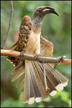 The African grey hornbill (Tockus nasutus) is a member of the hornbill family of tropical near-passerine birds found in the Old World. It is a widespread and common resident breeder in much of sub-Saharan Africa and into Arabia.