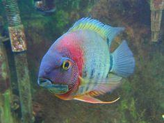 Rotkeil Severum with Olympus Pen Mini Underwater Creatures, Underwater Life, Ocean Creatures, Colorful Fish, Tropical Fish, Cichlid Aquarium, Fish Aquariums, South American Cichlids, Oscar Fish