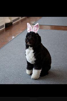 bo obama (portuguese water dog) in bunny ears