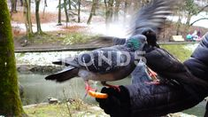 Video: Feeding pigeons from your hands in the winter park. Winter Park, Zoology, Video Footage, Photo Illustration, Pigeon, Stock Footage, Wildlife, Hands, Animals