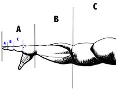 Golden Ratio and the human arm