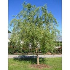 Corkscrew Willow Grows quickly, loves damp soil, interesting branchingi habit..