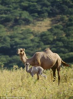 Camels wander the once dry area which has been transformed into rolling green hills follow...