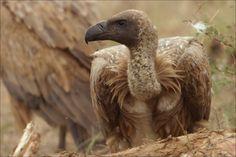 whitebacked-vulture.jpg (768×512)