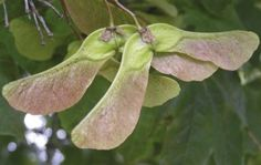 Atypical myopathy is killing horses in the UK. Find out all you need to know about this disease, which is linked to the seeds of the sycamore tree.   In the US, the condition is called seasonal pasture myopathy and is linked to seeds of the box elder tree.  Read all you need to know to protect your horses at http://www.horseandhound.co.uk/features/equine-atypical-myopathy-horses/#t2exAlhXKO604uJB.99 #horses #horsehealth