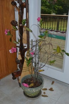 Winterizing Mandevillas: Tips For Overwintering A Mandevilla Vine Winterizing Mandevillas: Tips For Overwintering A Mandevilla Vine - Mandevilla plants in winter survive the season in fine shape if you live in a tropical climate. However, if you live in a